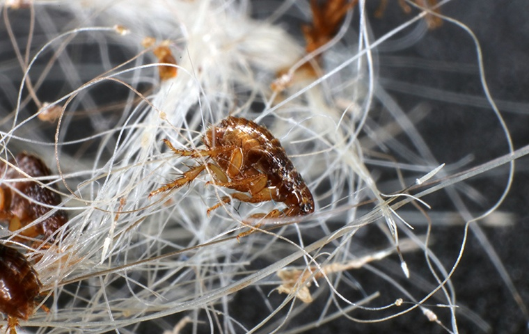 many fleas crawling in pet hair in a home in modesto california