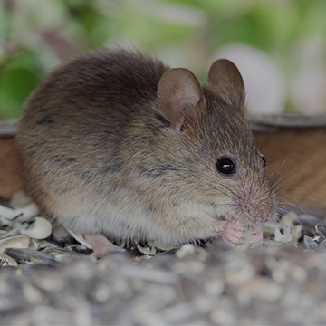 a mouse outside of a home in modesto california