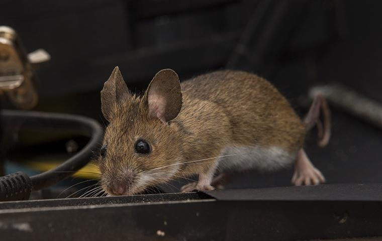 a mouse crawling among wiring in a home in patterson california