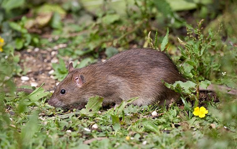 a large rat crawling in the grass outside of a home in riverbank california