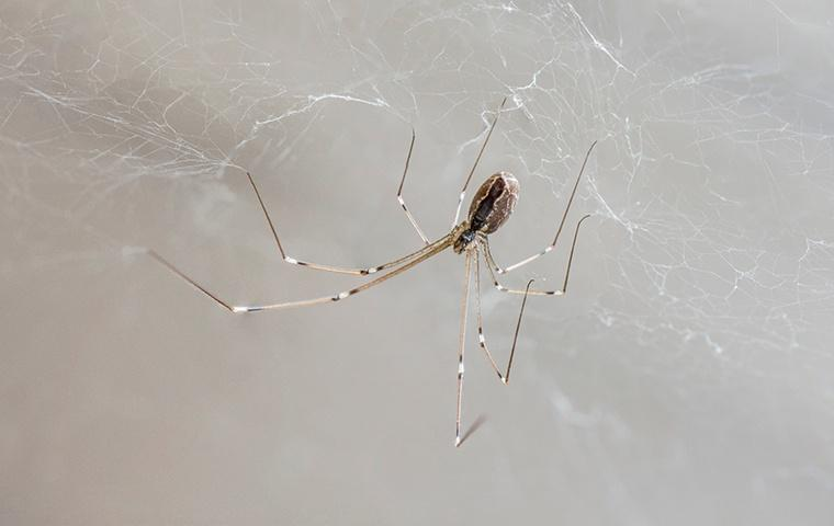 a cellar spider inside of a home in tracy california