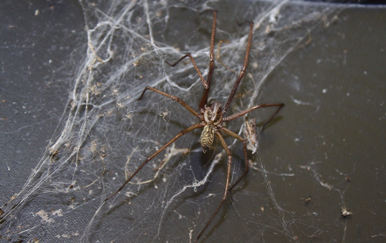 a brown recluse spider in the basement of a home in modesto california