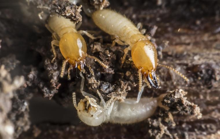 several termites crawling on damaged wood at a home in modesto california