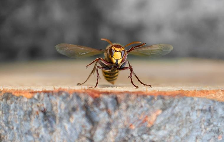 a hornet landing on the ground outside of a home in modesto california