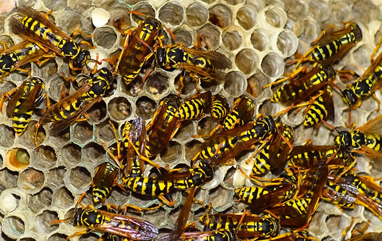 dozens of wasps on their hive at a home in modesto california