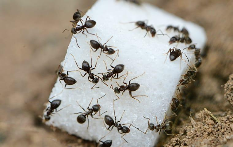 a colony of ants feasting on a sugar cube