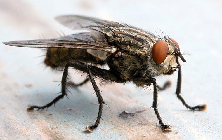 blow fly landing on a kitchen counter