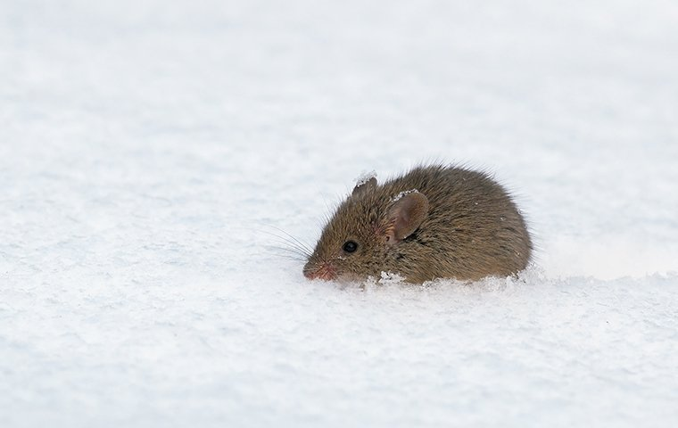 a mouse crawling in the snow outside of a home in charlotte north carolina
