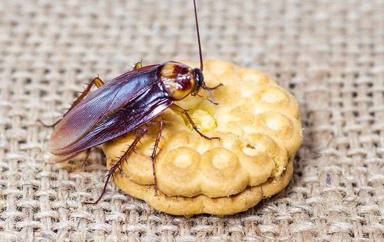 a cockroach crawlig on a cookie