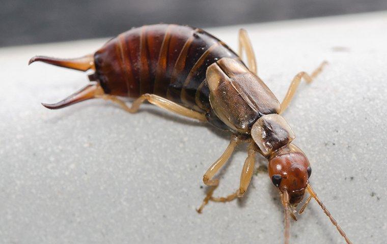 an earwig crawling on concrete