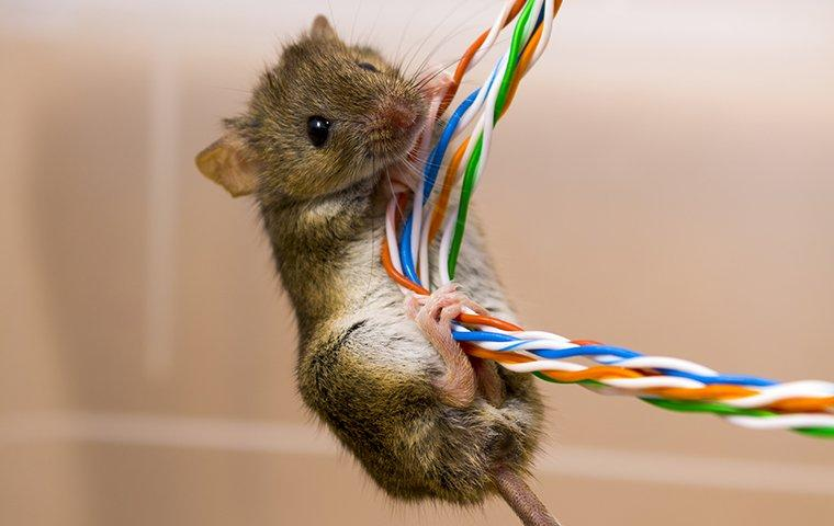 house mouse chewing wires in a charlotte north carolina home