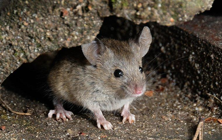 house mouse crawling in the attic