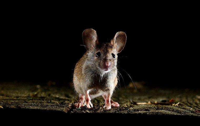 a house mouse inside a home at night