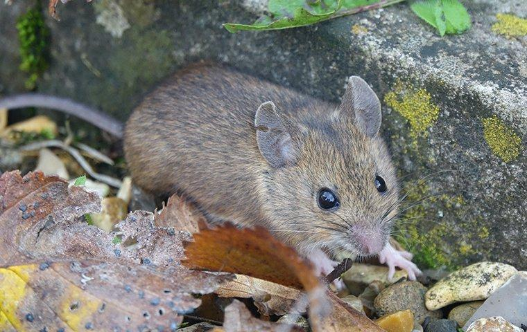 a house mouse tying to enter through foundation