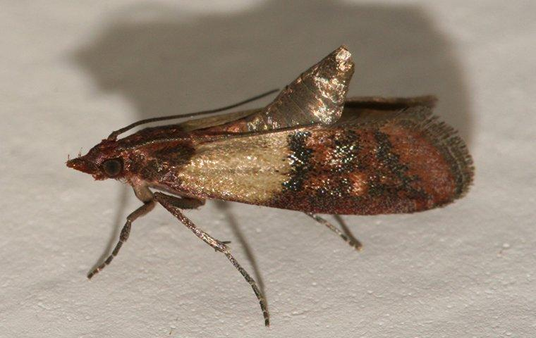 an indian meal moth crawling in a cupboard