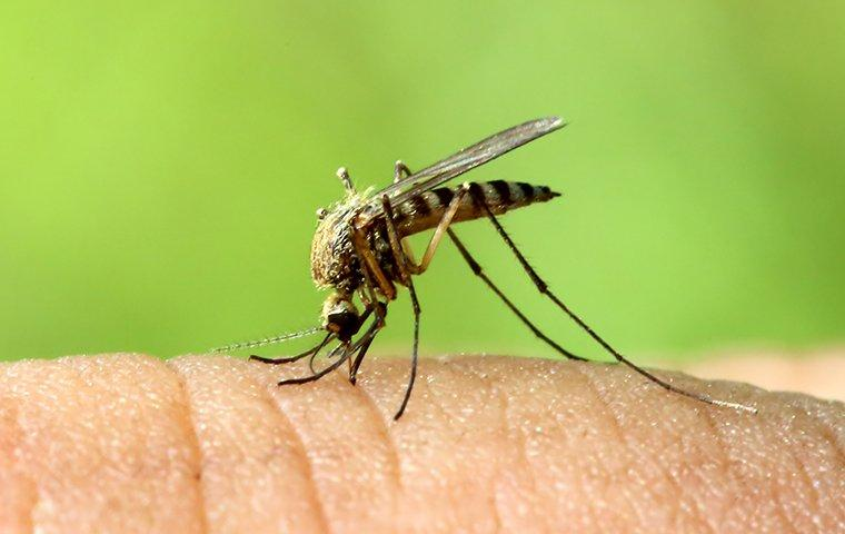 a mosquitoe biting the bare skin of a charlotte north carolina resident