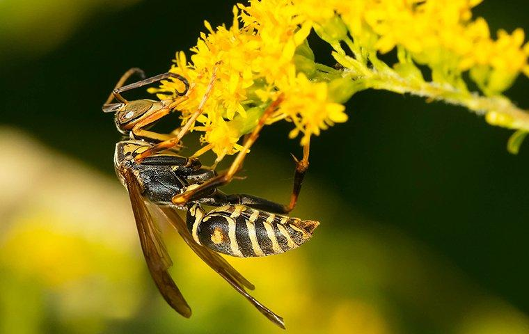a paper wasp pollinating a garden