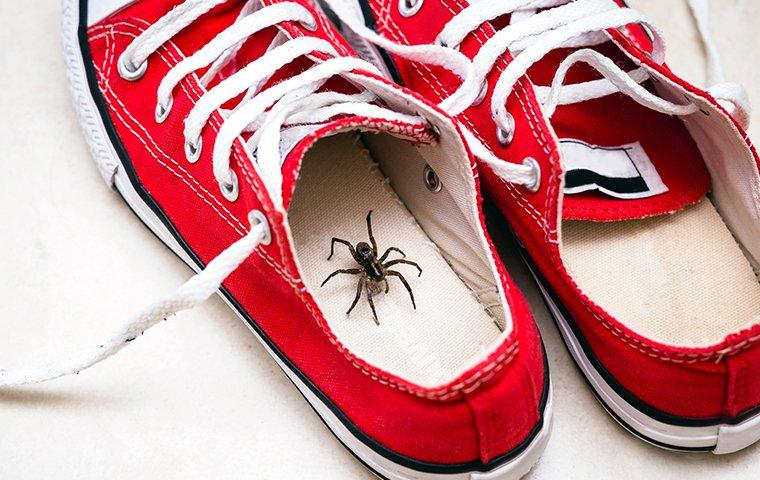 a wolf spider hiding inside a shoe