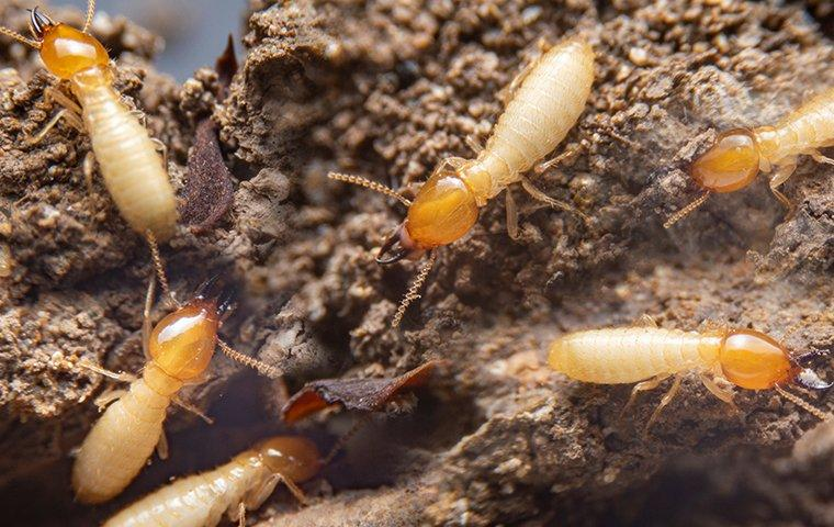 termites crawling in a wood nest