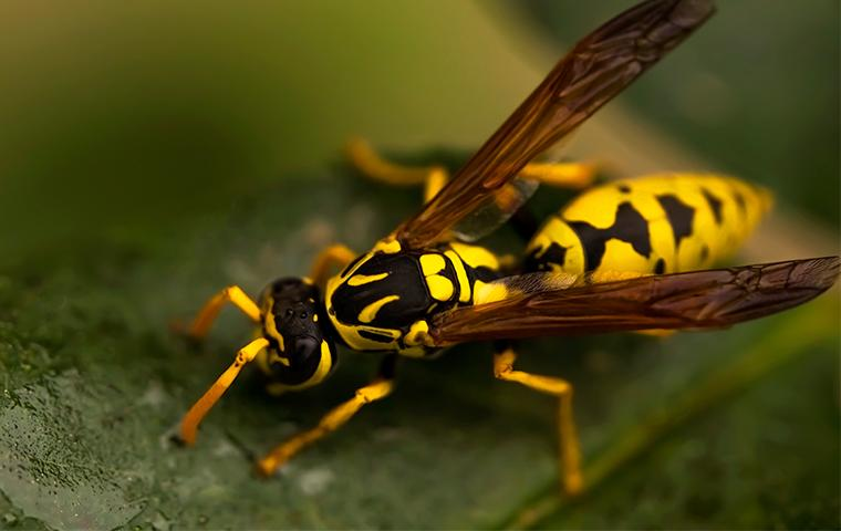 a wasp on a wet leaf