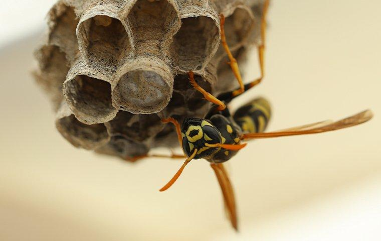 wasp tending nest