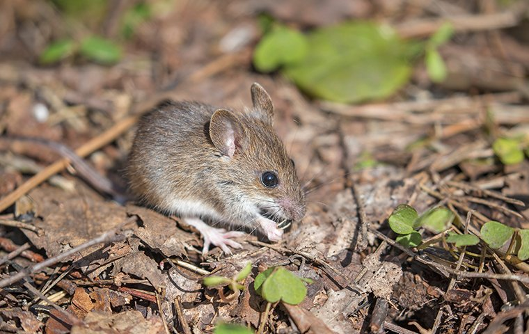 a mouse outside of a home in charlotte north carolina