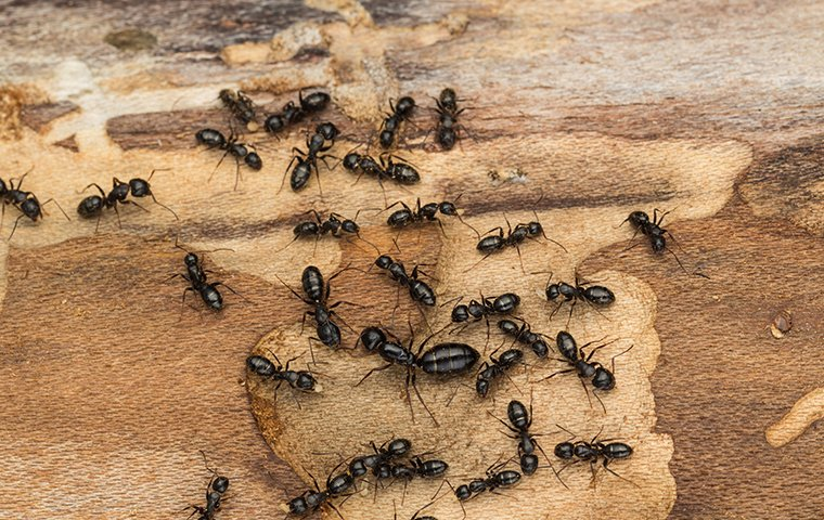 a colony of carpenter ants inside of a home in raleigh north carolina