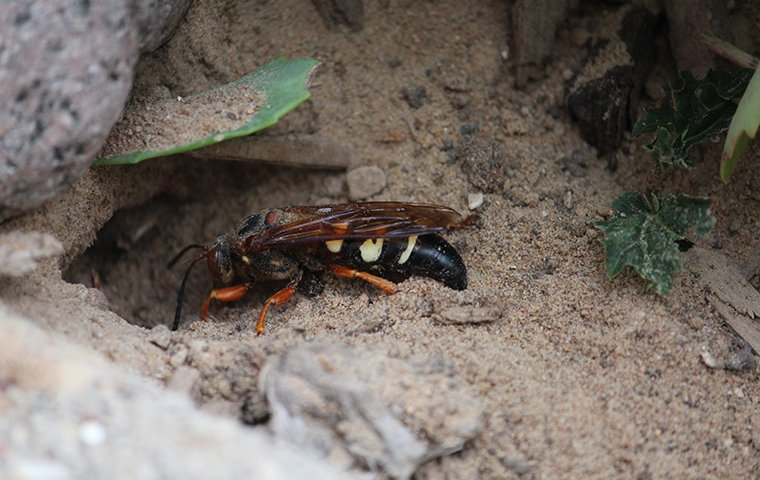 a cicada killer wasp on the ground outside of a home in charleston south carolina