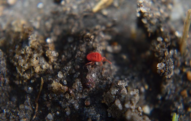 clover mite up close