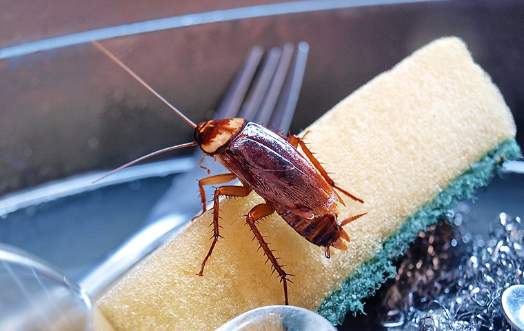 a cockroach crawling on a sponge in the kitchen sink of a home in fort mill south carolina