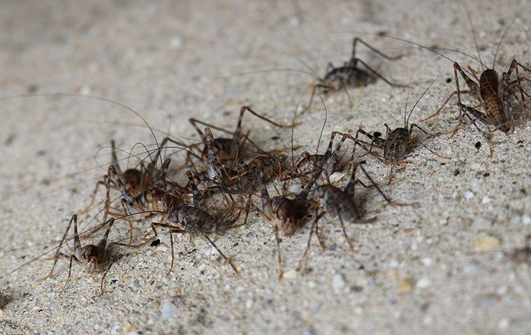a swarm of crickets outside of a home in fort mill south carolina