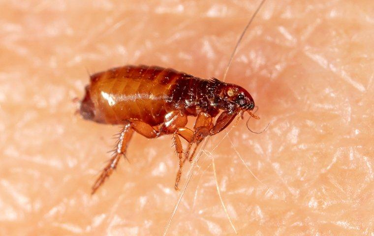 a flea on human skin inside of a home in raleigh north carolina