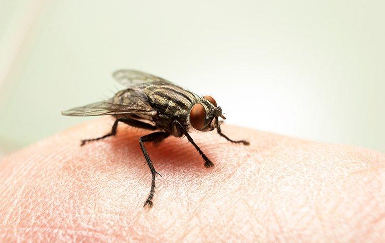 a fly on human skin inside of a home in winston salem north carolina