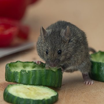a mouse eating a cucumber on a surface inside of a home in raleigh north carolina