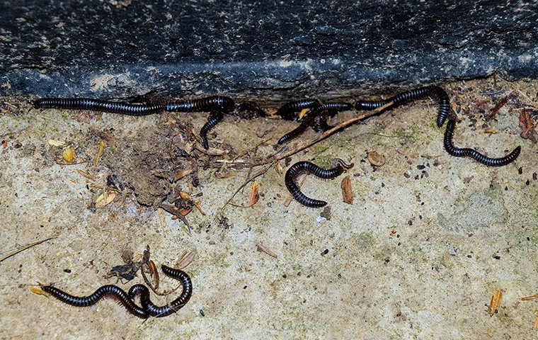 several millipedes crawling on the ground outside of a home in charlotte north carolina