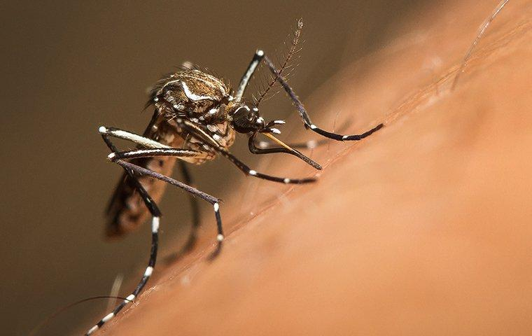 a mosquito biting the skin of a human outside of a home in charlotte north carolina