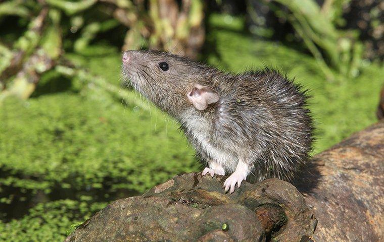 a rat outside of a home in greensboro north carolina