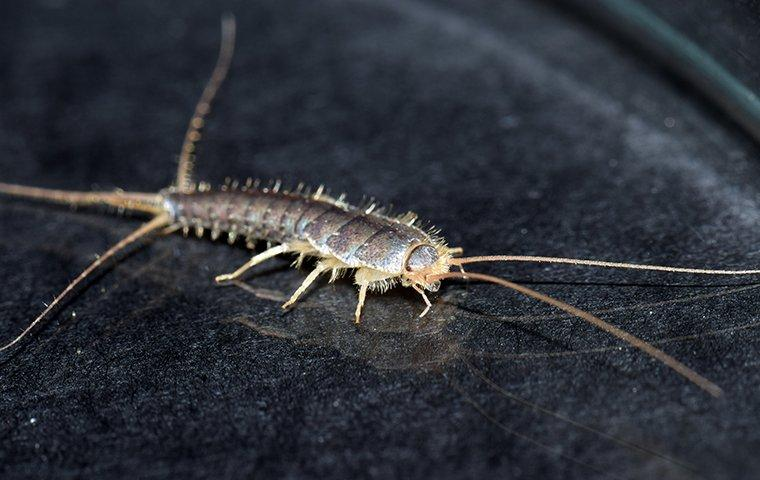 a silverfish crawlin gon a surface inside of a home in raleigh north carolina