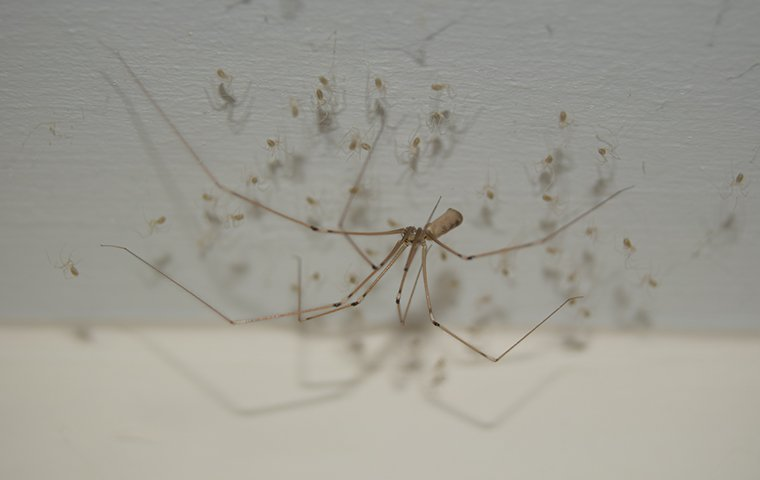 a cellar spider crawling inside of a home in charleston south carolina