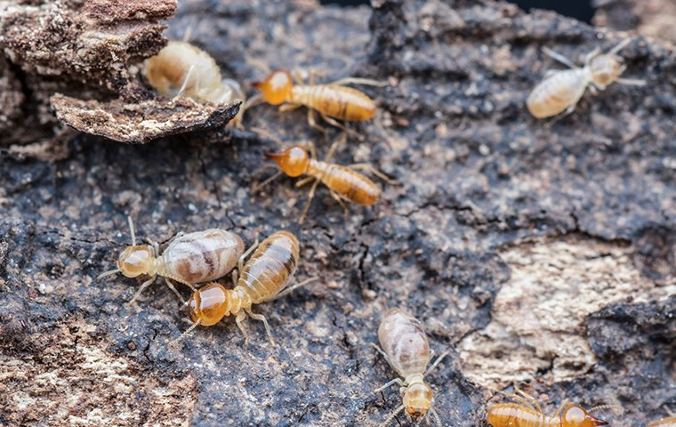 a colony of termites outside of a home in fort mill south carolina