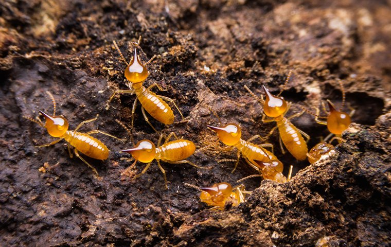 subterranean termites coming out of underground nest