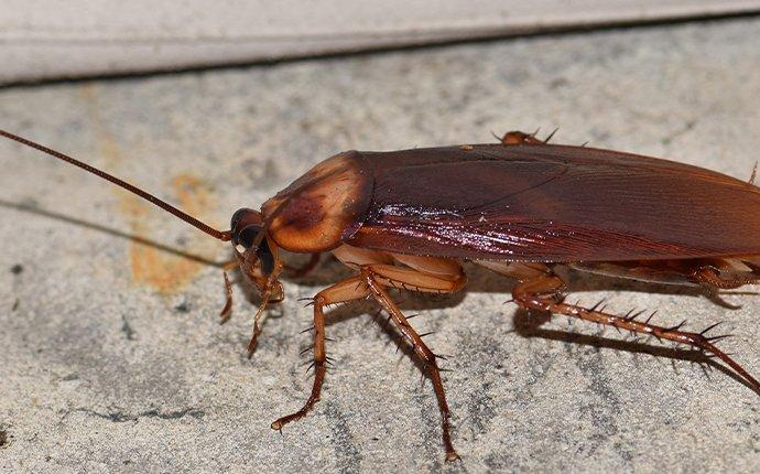 american cockroach on concrete