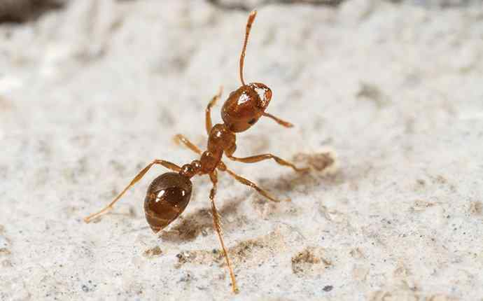 a fire ant on a rock