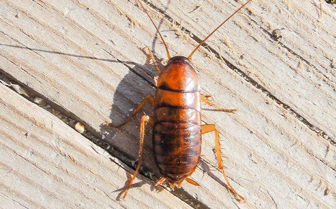asian cockroach on wood