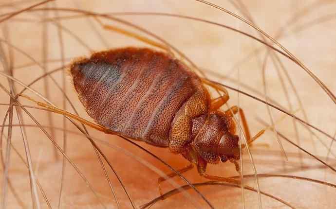 a bed bug crawling on human skin biting in juno beach