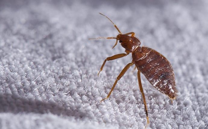 bed bug on rug