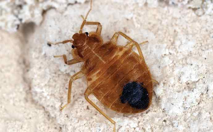 a bed bug near a home in florida