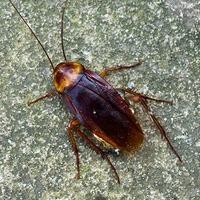 american cockroach on a rock