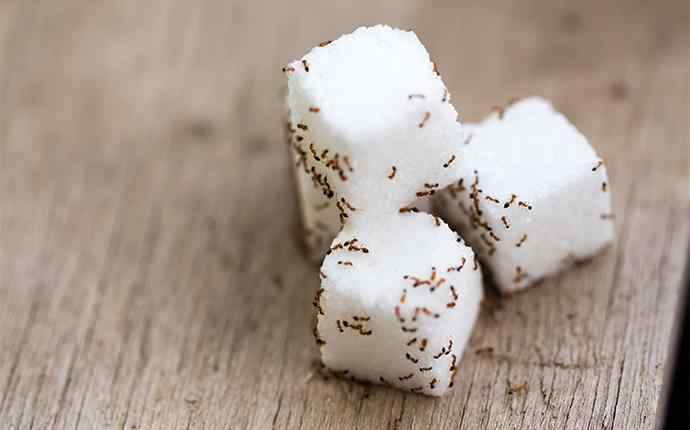 four sugar cubes covered in ants on a table
