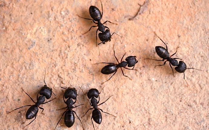 a cluster of carpenter ants in a home